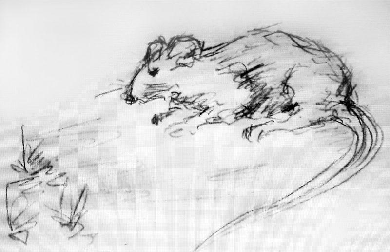 Ratte Zeichnung